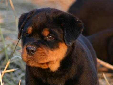 aging rotweiler picture 18