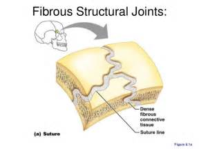 fibrous joint picture 7