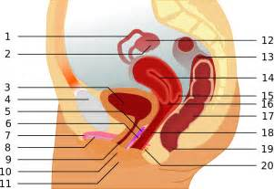 diagram of a penis hitting the g spot picture 2