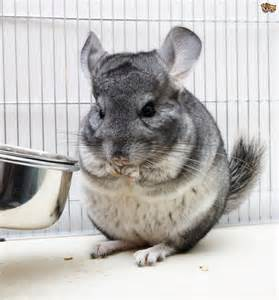 chinchilla health intestinal picture 13