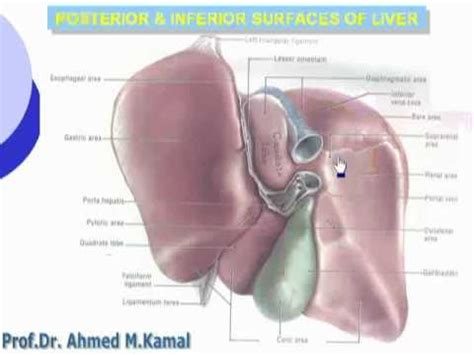 posterior view of human liver picture 2