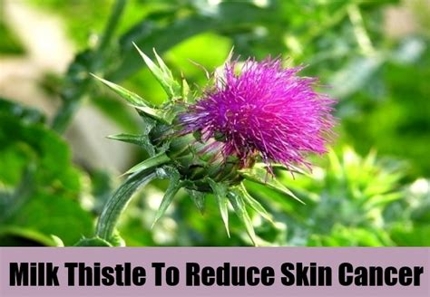 milk thistle and sagging skin picture 7