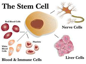 stem cells regrow h picture 16