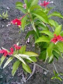 serpentina medicinal plant philippines picture 6
