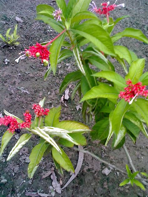 rauwolfia serpentina plant in the philippines picture 1