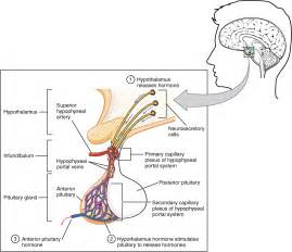 anterior pituitary gland picture 5