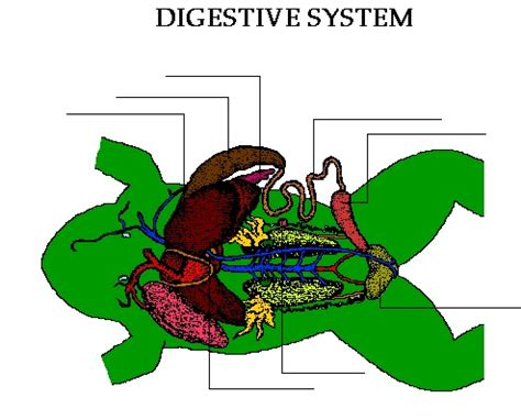 frog digestion picture 6