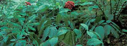 peruvian ginseng in the philippines picture 3