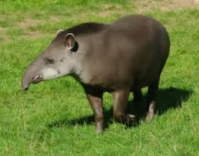 tapir penis picture 1