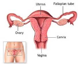 what can bovine ovary do to a male picture 17