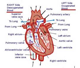 blood flow through the heart picture 15
