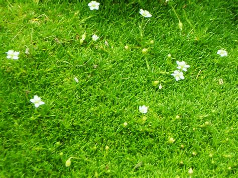 pictures of irish moss picture 1