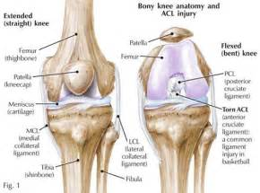 anotomy of knee joint picture 2