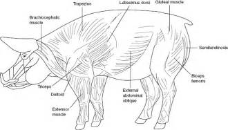 muscle health in swine picture 2