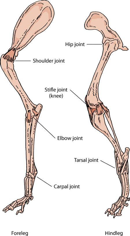 canine bicep joint picture 6