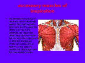 accessory muscle picture 2
