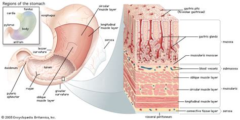 true layers of the gastrointestinal tract picture 15