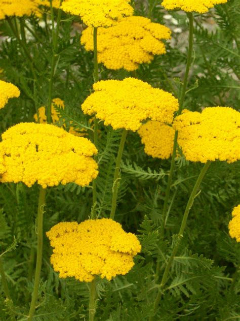 achillea filipendulina herbal use picture 9