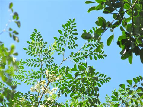 can moringa cure loss of libido picture 10