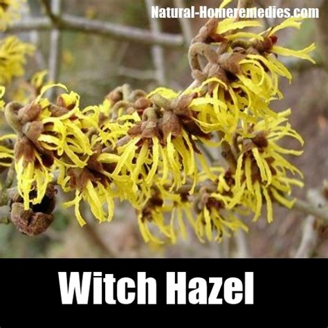 witch hazel on genital herpes picture 5