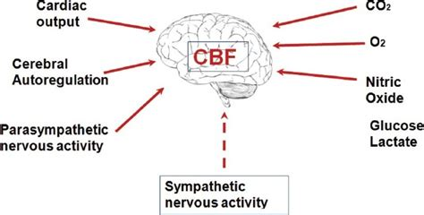 cerebral blood flow picture 3