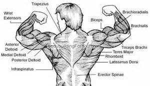 bodybuilding bones exercise and anatomy picture 9