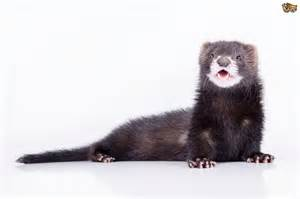 ferret digestion picture 10