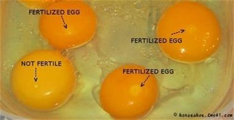 Cholesterol in fertilized eggs picture 5