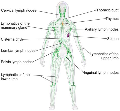 cellulite lymph system picture 2