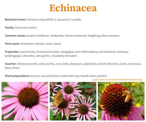 echinacea side effects picture 1