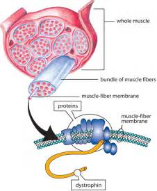 history of muscle disorders picture 6