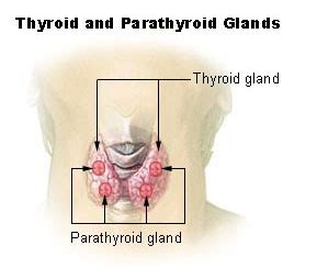 armour for thyroid picture 9