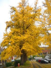 buy ginkgo trees picture 7
