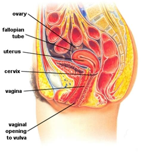 cross section of the penis ejaculating inside vergina picture 2
