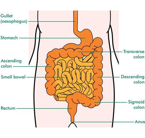 duodenum stomach colon picture 7