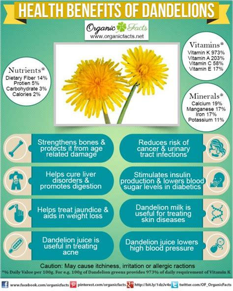 dandelion root for digestion picture 6