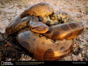 anaconda enlargement system picture 3