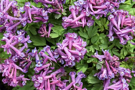 strongest corydalis to take for pain picture 2