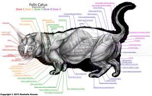 cat muscle anatomy picture 10