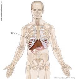 location of liver in human body picture 7