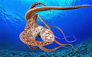 octopus h picture 2