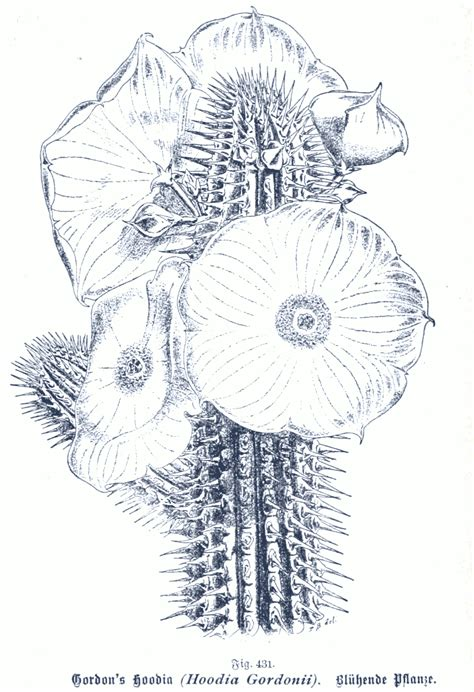 hoodia gs picture 2
