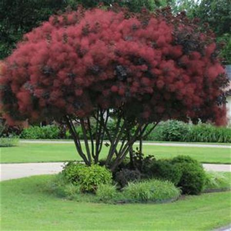 smoke tree, pink mist for sale picture 10