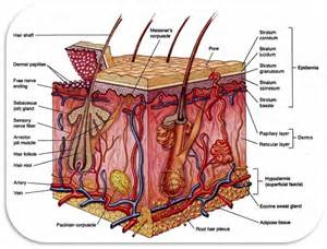cross section of human skin picture 9
