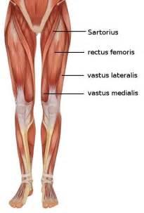 leg muscle illustration picture 17