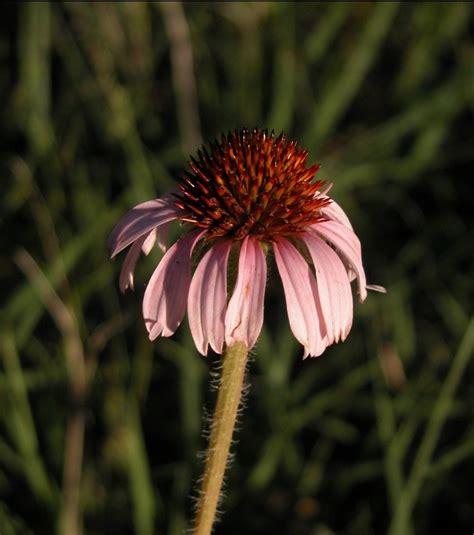 echinacea studies picture 2