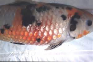 koi skin disease picture 3