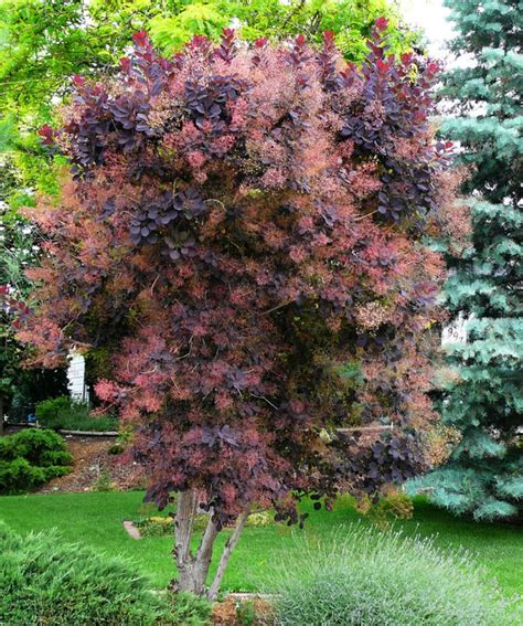 smoke tree, pink mist for sale picture 12