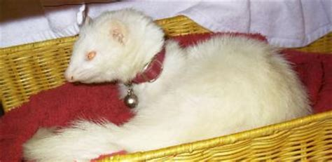 ferret giardia natural remedy picture 11