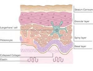 collagen elastin picture 2